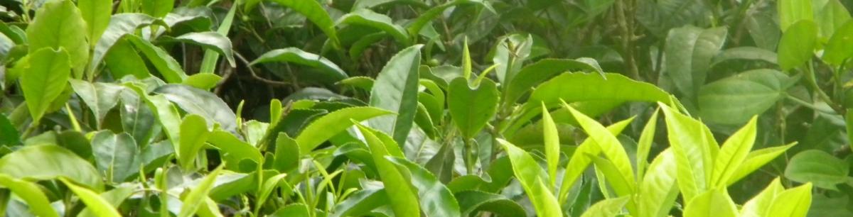Teefelder in den Usambara-Bergen in Tansania